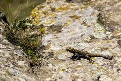 有胡子的龙蜥蜴Pogona吃昆虫的Vitticeps 库存照片