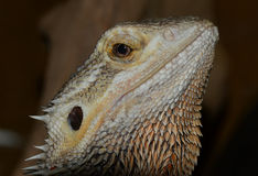 有胡子的龙蜥蜴pogona vitticeps 免版税图库摄影