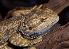 有胡子的龙蜥蜴。 免版税库存照片