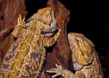 有胡子的龙蜥蜴。 免版税图库摄影