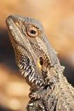 有胡子的龙蜥蜴 免版税库存照片