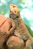 有胡子的龙蜥蜴 免版税图库摄影