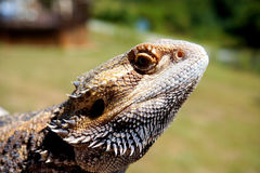 有胡子的龙蜥蜴 库存图片