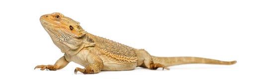 有胡子的龙, Pogona vitticeps 免版税库存图片