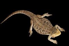 有胡子的龙Llizard,说谎的蜥蜴,隔绝了黑背景 库存图片
