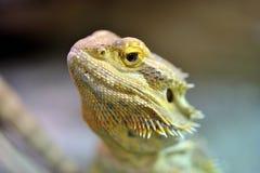 有胡子的龙pogona vitticeps 图库摄影