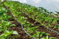 有胡椒植物和水滴灌溉的温室 免版税库存图片