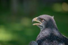黑有胸腔的肉食老鹰特写镜头与开放的额嘴的 免版税图库摄影