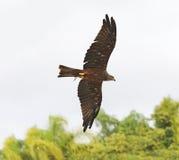 黑有胸腔的蛇老鹰狩猎 库存照片