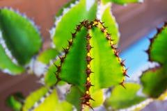 有脊椎的仙人掌尖刻的多汁绿色植物 免版税库存照片