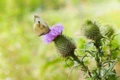 有脊椎的蓟植物打翻了飞过的词根和叶子,有一只蝴蝶的桃红色紫色头状花序对此 库存图片