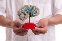 有脑子模型的医生在他的手上 库存照片