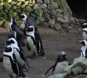 黑有脚的企鹅小组 免版税图库摄影