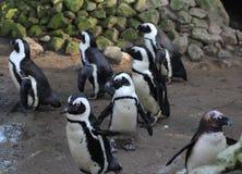 黑有脚的企鹅小组 库存照片
