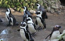 黑有脚的企鹅小组 库存图片