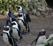 黑有脚的企鹅小组 免版税库存图片