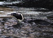 黑有脚的企鹅游泳 库存照片