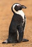黑有脚的企鹅 库存图片