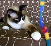 有脚的小猫kyko暹罗雪 库存图片