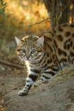 黑有脚的猫猫属nigripes 免版税库存照片