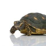 有脚的红色草龟 免版税库存图片