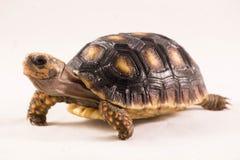 有脚的红色草龟 免版税图库摄影