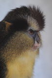 黑有脚的被加冠的猴子 免版税库存图片
