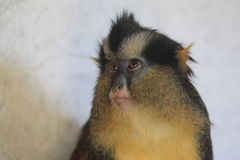 黑有脚的被加冠的猴子 库存图片