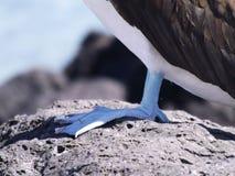 有脚蓝色的笨蛋 免版税库存照片