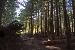有腐烂的下落的树的老森林与强有力的根 免版税库存照片
