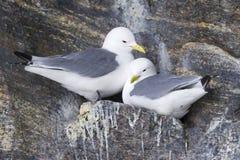 黑有腿三趾鸥(Rissa tridactyla)筑巢 库存照片