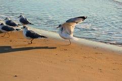 有腿的一只海鸥 库存图片