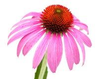 有自由地向后被安置的瓣的Coneflower海胆亚目purpurea唯一开花,关闭 免版税库存照片