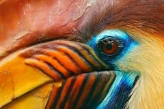 有节的犀鸟, Rhyticeros cassidix,从苏拉威西岛,印度尼西亚 罕见的异乎寻常的鸟细节眼睛画象 大红色眼睛 美好的jung 免版税库存图片