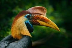 有节的犀鸟, Rhyticeros cassidix,从苏拉威西岛,印度尼西亚 罕见的异乎寻常的鸟细节眼睛画象 大红色眼睛 美好的jung 库存图片