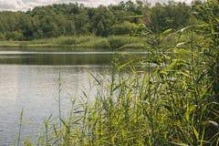 有芦苇植物的Summer湖 湖水和森林 免版税库存照片