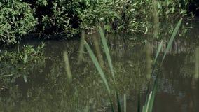 有芦苇的夏天池塘和反射在绿色水,俄国自然中 免版税图库摄影