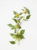 有花和果子的空泡枝杈在白色 库存图片