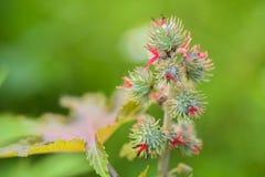 有花和种子的铸工叶子 库存照片
