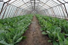 有花椰菜植物的老荷兰玻璃温室 免版税库存图片