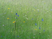 有花的一个山干草草甸 免版税库存照片
