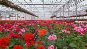 有花的大玻璃温室 增长的花自温室 一间现代花温室的内部 ? 影视素材