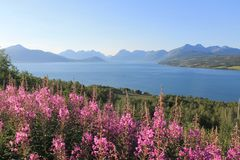 有花的挪威海湾在前景 免版税库存照片