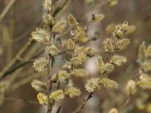 有花的杨柳枝杈 库存图片