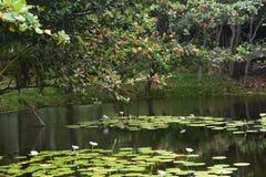有花的热带百合围拢它的池塘和森林 免版税库存照片