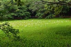 有花的热带百合围拢它的池塘和森林 库存照片
