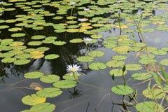 有花的热带百合围拢它的池塘和森林 图库摄影