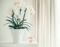 有花的白色兰花植物在仍然窗口的罐,正面图 室内植物装饰 免版税图库摄影