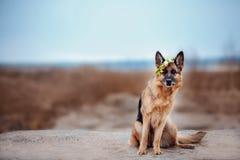 有花的红色和黑人德国牧羊犬 免版税库存图片