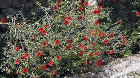 有花的红色木槿植物 库存图片